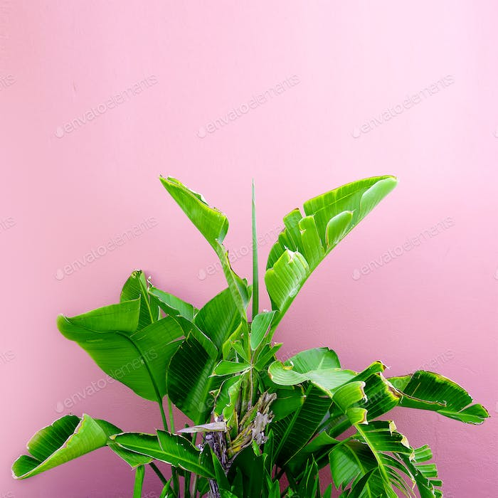 Tropical plant on a pink. minimal art design