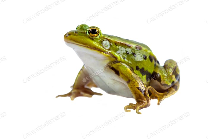 Green Pool frog male on white
