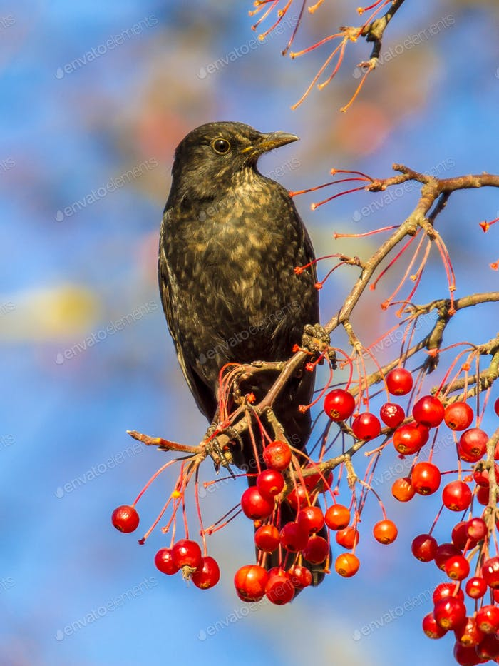 Male European Blackbird  feeding