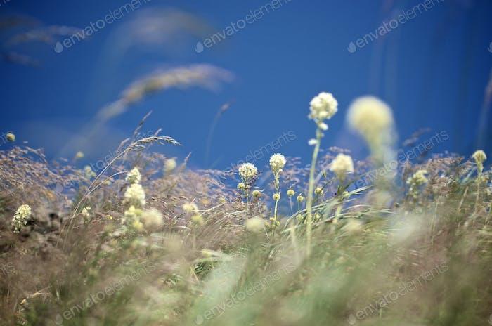 Soft Bear Grass