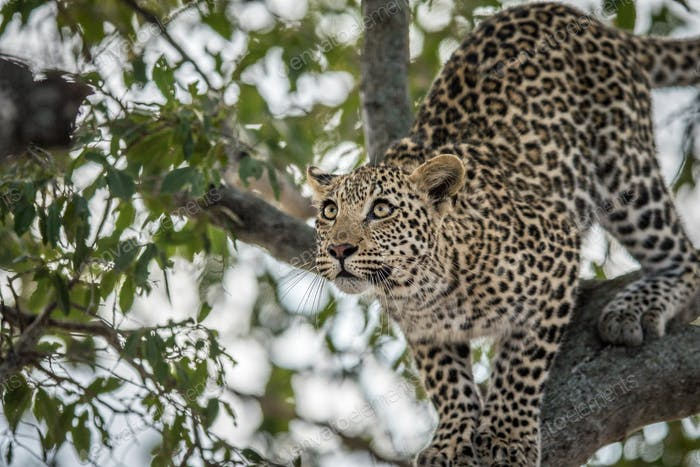 Leopard getting ready to jump.