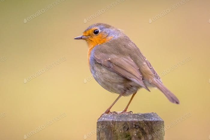 Red Robin with bright background