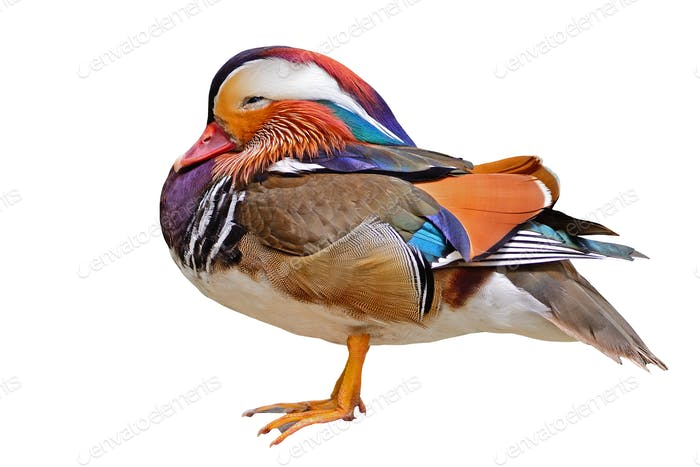Mandarin Duck isolated