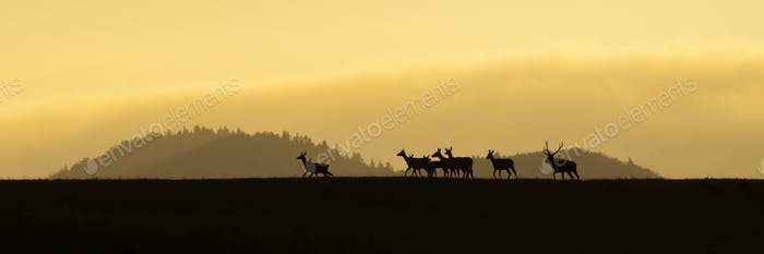 Panoramic scenery of red deer herd walking on a horizon at sunrise
