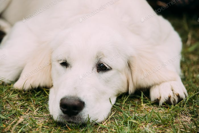 Close View Of Beautiful White Dog Labrador Puppy Whelp Lying In