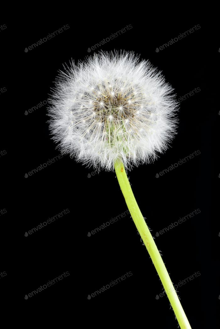 Dandelion on black background