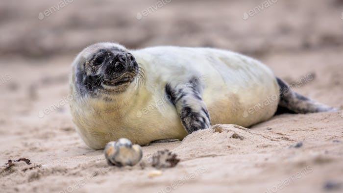 baby Common seal on beach while looking backward