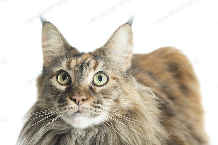 isolierte Maine Coon Katze Exemplar liegend