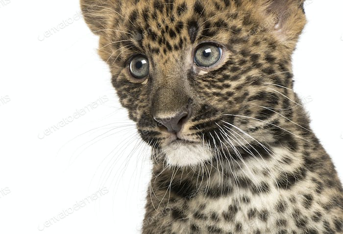 Close-up of a Spotted Leopard cub - Panthera pardus, 7 weeks old, isolated on white