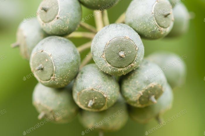 Berries of ivy plant