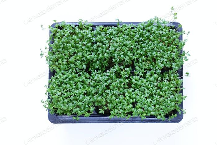 Cress Salad