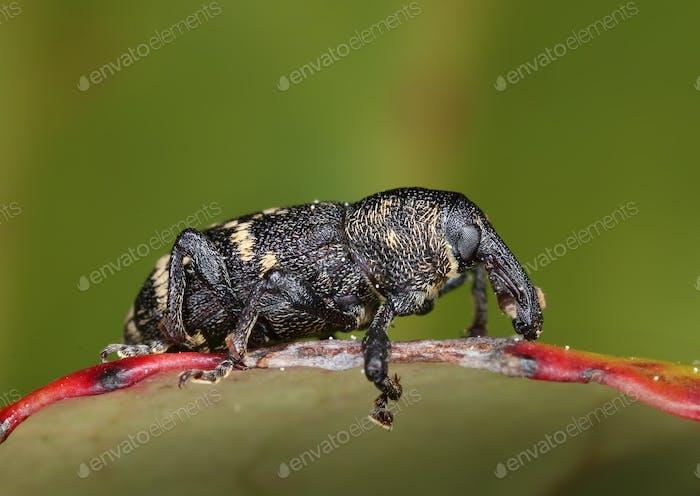 Large pine weebil beetle macro close-up