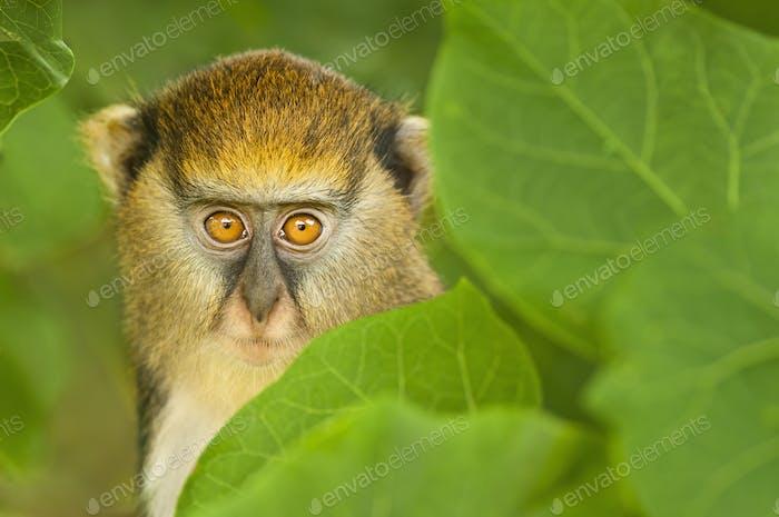 A young Mona monkey,Cercopithecus mona,hiding in foliage