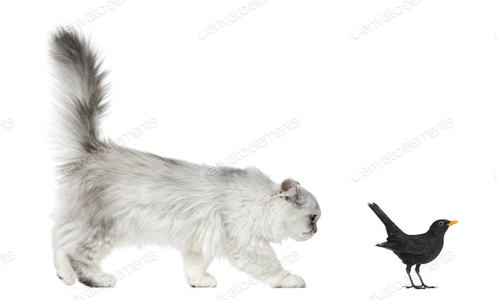 Persian kitten looking at Blackbird, isolated on white