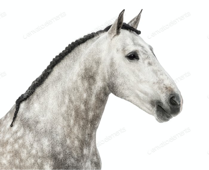 Thumbnail for Close-up of an Andalusian head, 7 years old, also known as the Pure Spanish Horse