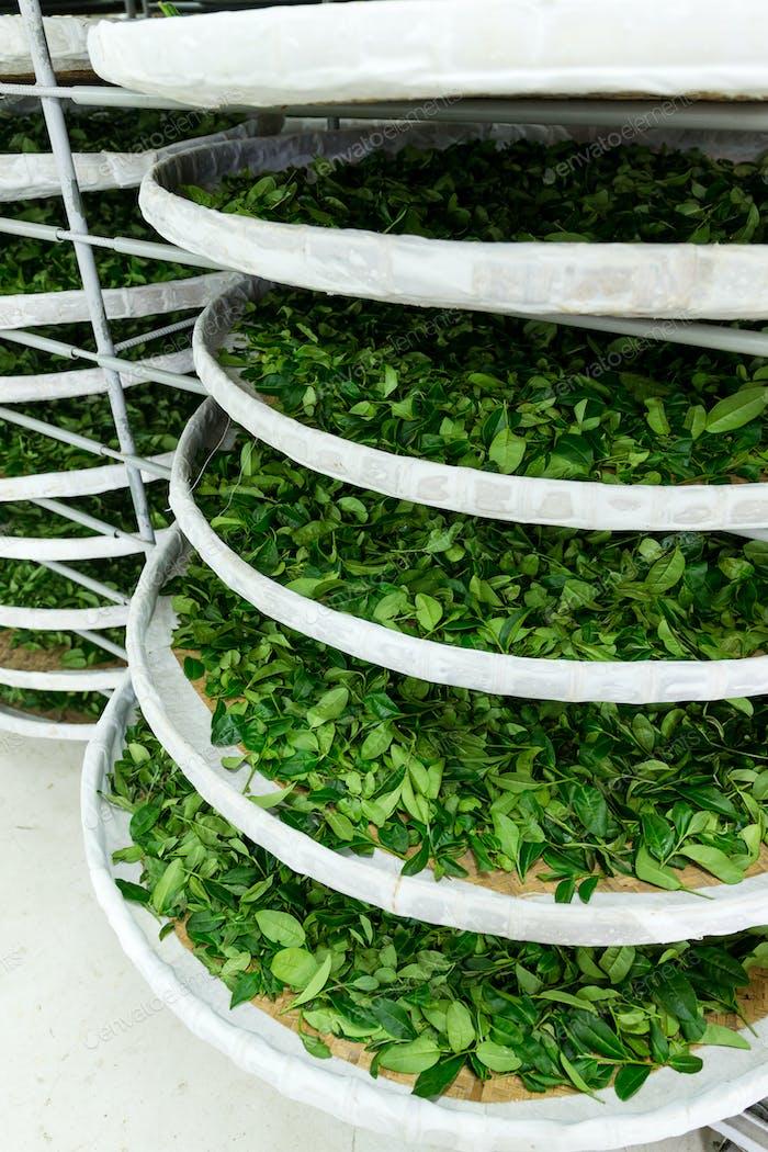 Fermentación de té en fábrica