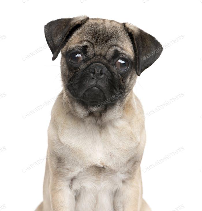Nahaufnahme eines Mops mit Blick auf die Kamera, Hund, Haustier, Studiofotografie, ausgeschnitten