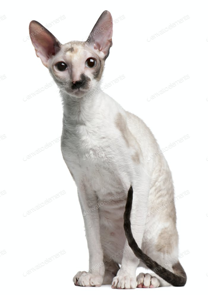 Cornish Rex cat, 7 months old, sitting in front of white background