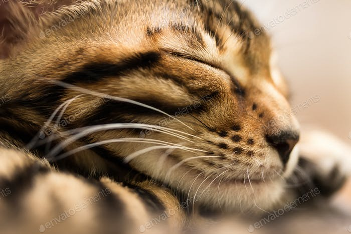 Sleeping red tabby kitten, close-up.