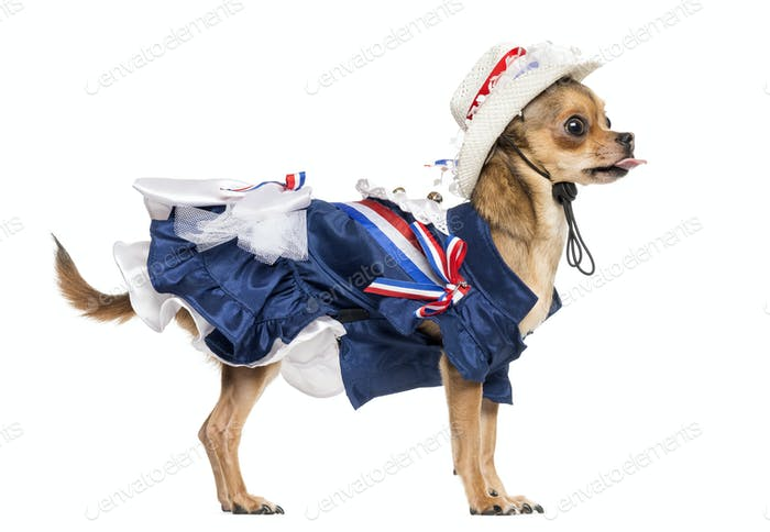 Side view of a Patriotic Chihuahua standing, sticking the tongue out, isolated on white
