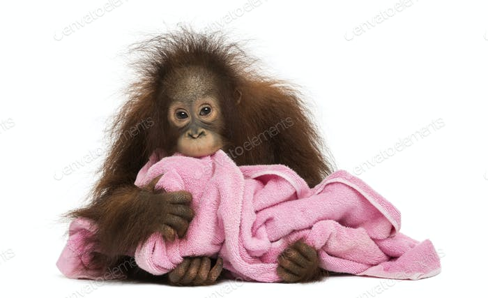 Young Bornean orangutan lying, cuddling a pink towel, Pongo pygmaeus, 18 months old