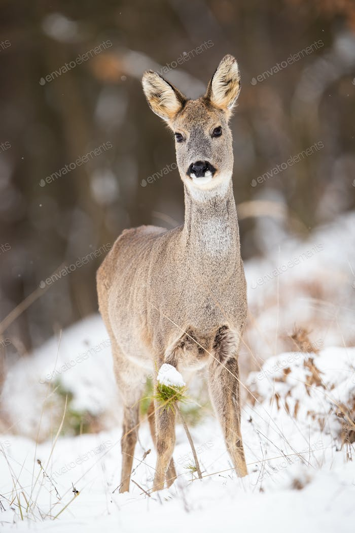 Attentive roe deer doe standing on a clearing in woodland on snow during winter