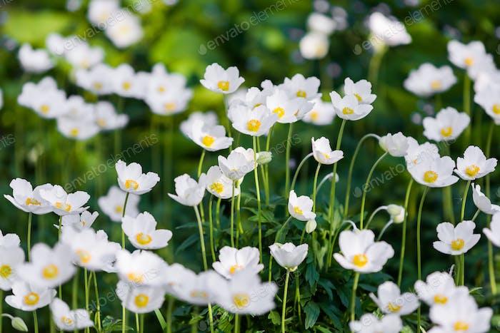 Snowdrop Anemone - Anemone sylvestris- in Spring season. Shallow focus
