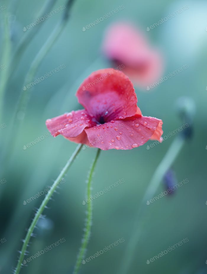 red poppy with drops on blue background closeup