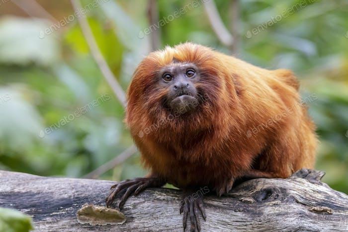 Close up of Golden lion tamarin monkey on tree