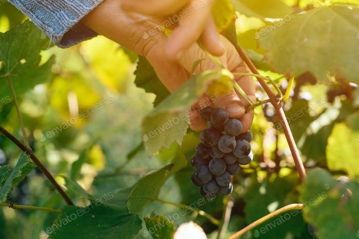 Female viticulturist harvesting grapes in grape yard