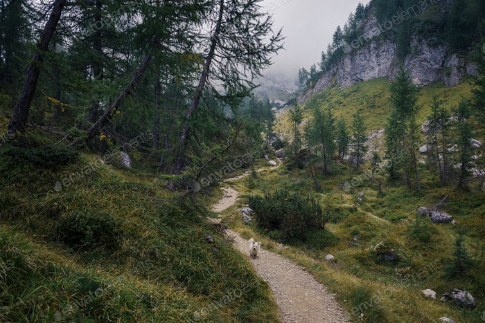 Mystic forest in the Alps with pine trees and larches