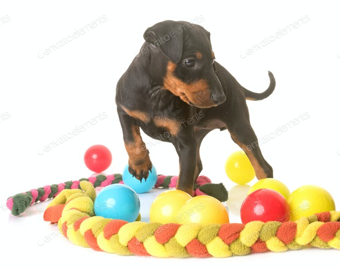 puppy manchester terrier