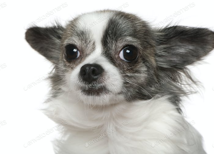 Close-up of Chihuahua, 15 months old, in front of white background