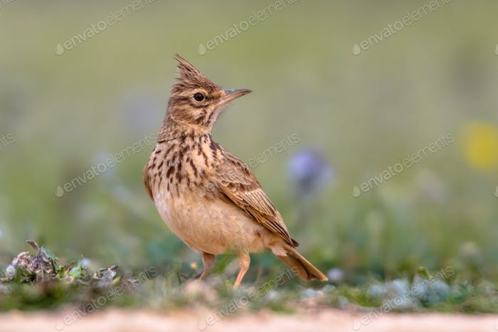 Crested lark side view