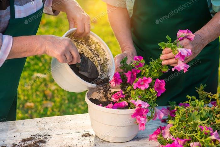 Elderly hands working with flowers