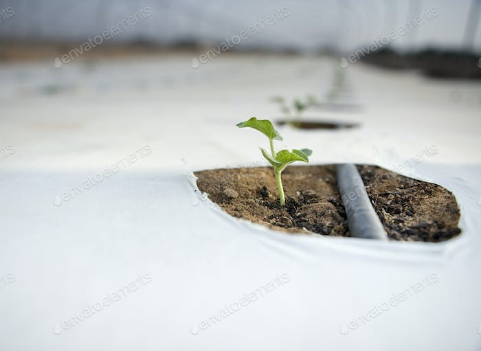 Seedling Growing in a Greenhouse