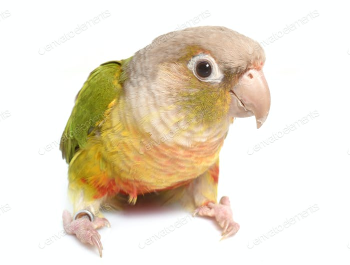 conure cinnamon in studio