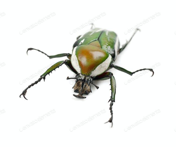 Female Flamboyant Flower Beetle or Striped Love Beetle