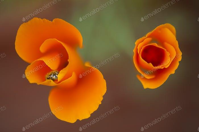 Eschscholzia californica, yellow and orange poppy wild flowers.