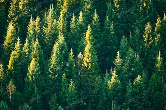 Wunderschöner immergrüner Wald mit Tannenbäumen