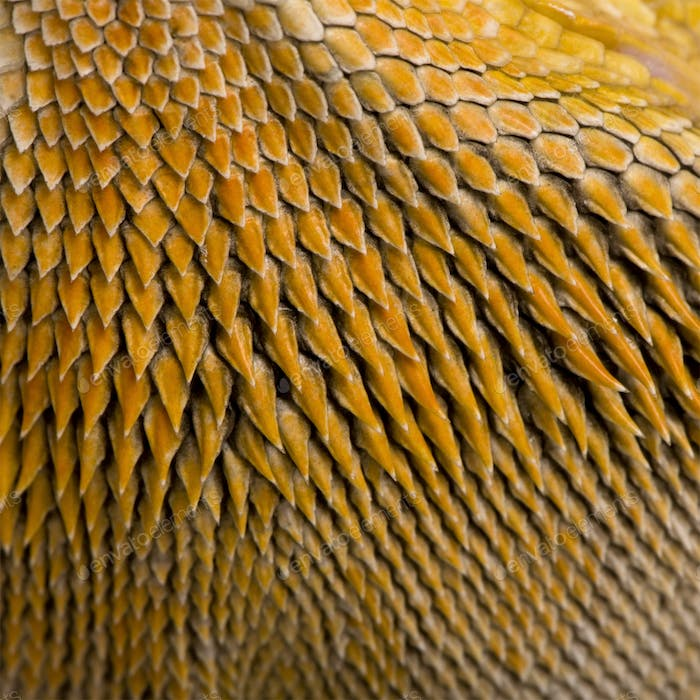 Close-up of scales on Lawson's dragon, Pogona henrylawsoni