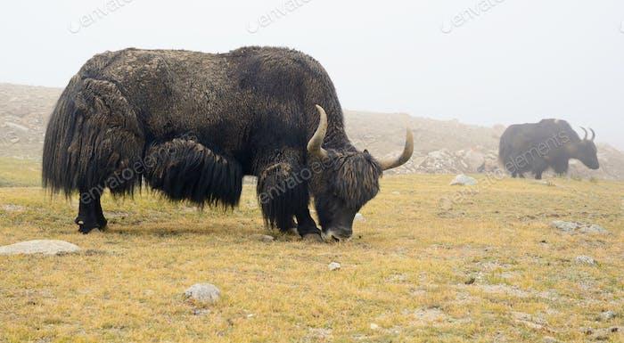 Tibetische Yaks auf der Weide