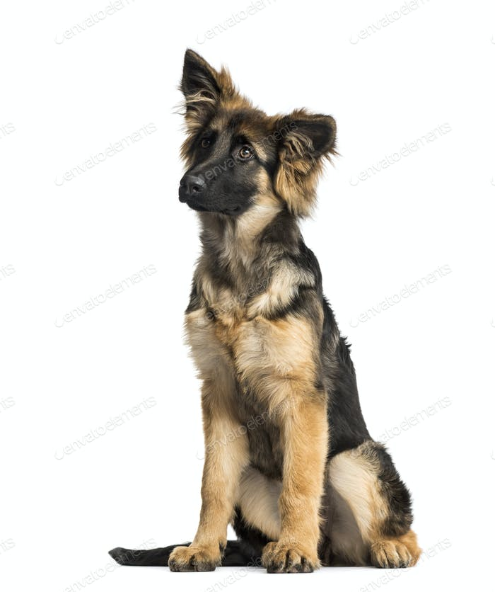 Puppy German Shepherd Dog sitting, 4 months old, isolated on white
