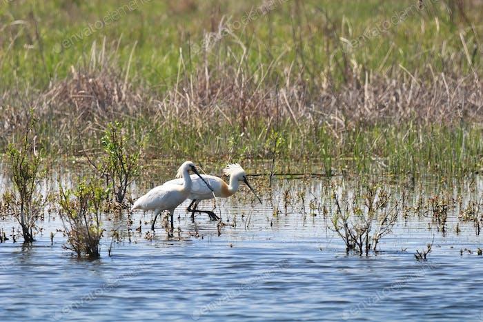 egrets walk