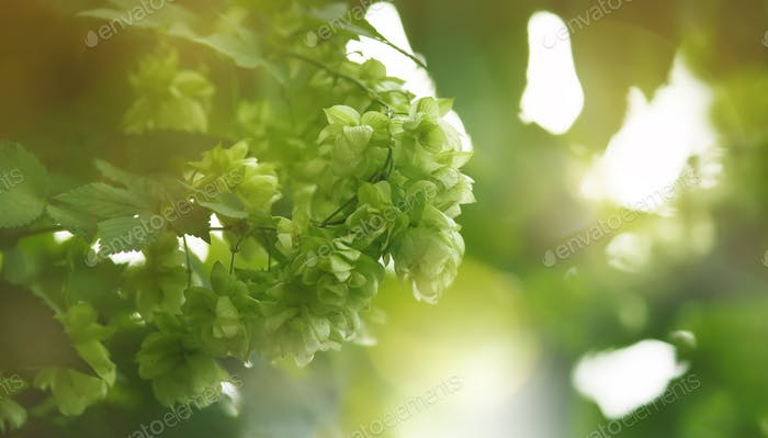 Hop cones on bush, green blurred natural background