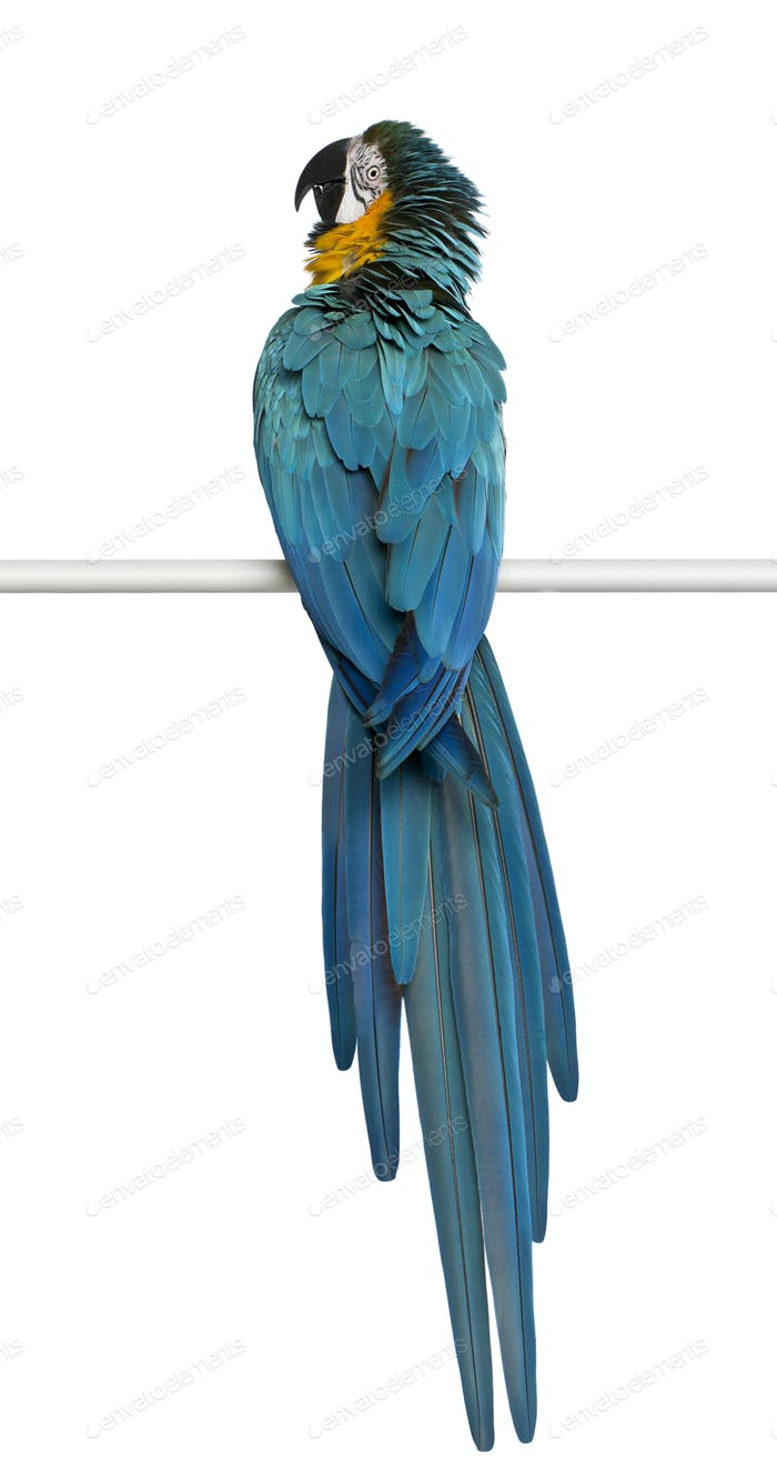 Blue and Yellow Macaw, Ara Ararauna, perching in front of white background