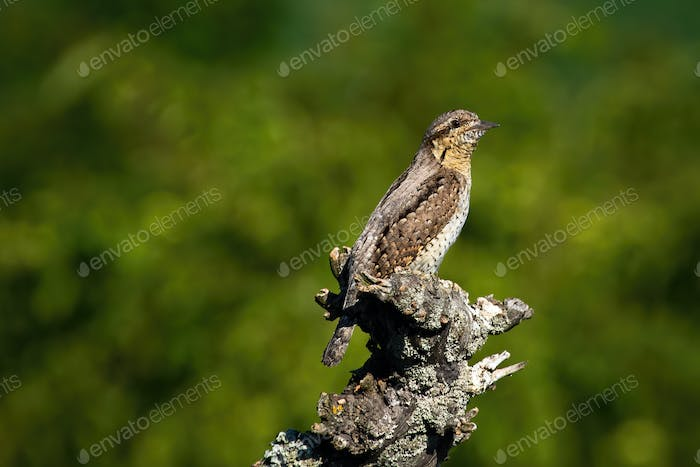 Eurasian wryneck sitting on a branch in spring nature