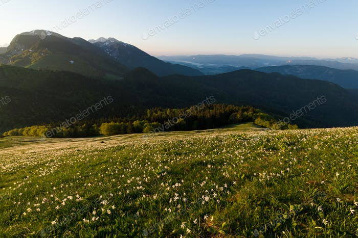 Daffodil flowers in the spring morning on the meadow in the mountains