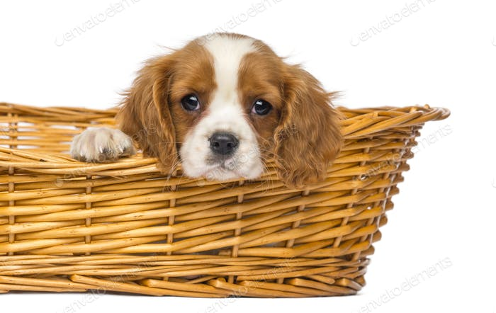 Close-up of a staring Cavalier King Charles Puppy, 2 months old, in wicker basket, isolated on white
