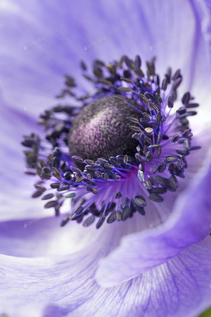 The centre and stamens of a purple flower.
